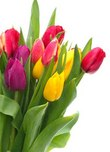 tulipany.jpeg